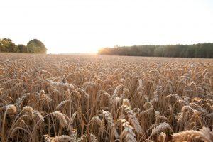 Champs de blé - RAGT